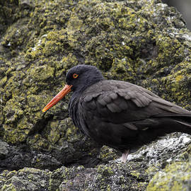 Tim Moore - Black Oystercatcher