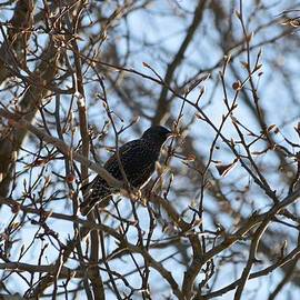 Sonali Gangane - Black  Starling