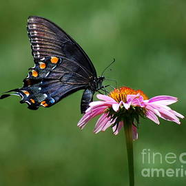 Catherine Sherman - Black Swallowtail Butterfly on a Coneflower
