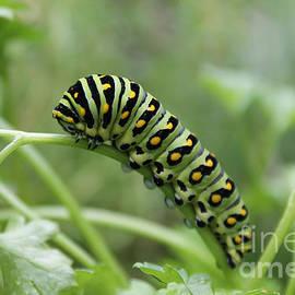 Nina Silver - Black Swallowtail Caterpillar