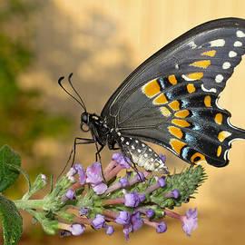David and Carol Kelly - Black Swallowtail