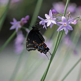 Suzanne Gaff - Black Swallowtail VII Squared