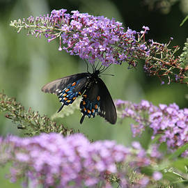 EricaMaxine  Price - Black Swallowtail1-Featured in Newbies-Nature Wildlife- Digital Veil-Comfortable Art Groups Groups