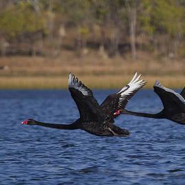 Mr Bennett Kent - Black Swans in Flight