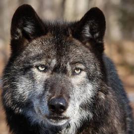 Patsy Zedar - Black Wolf 3