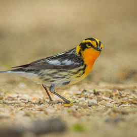 Chris Hurst - Blackburnian Warbler