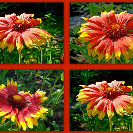 Mother Nature - Blanket Flower - Gaillardia - v. Fanfare