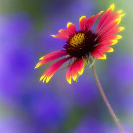 Saija  Lehtonen - Blanket Flower