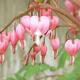 Pamela Patch - Bleeding Heart Flowers Arch