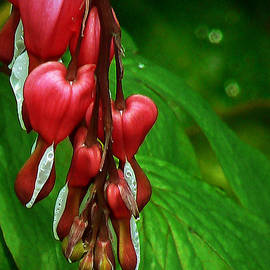 Pamela Patch - Bleeding Heart Plant Flower with Rain Drops