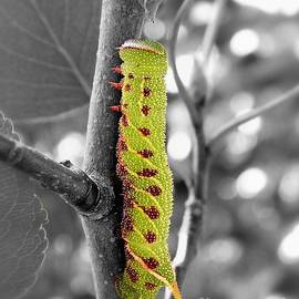 Sharon Woerner - Blinded Sphinx Caterpillar