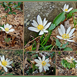 Mother Nature - Bloodroot Wildflowers - Sanguinaria canadensis L
