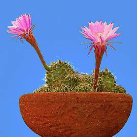 Bob and Nadine Johnston - Blooming Beaver Tail Cactus