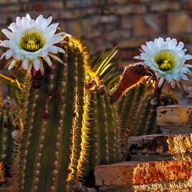 Robert Bales - Blooming Cactus