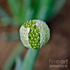 Linda Bianic - Blooming Garlic