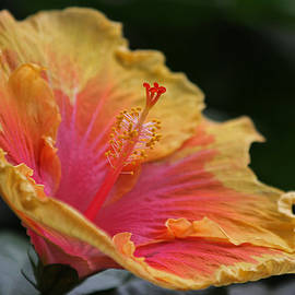 Juergen Roth - Blooming Hibiscus