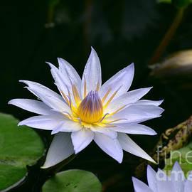 DejaVu Designs - Blooming Lavender Water Lily