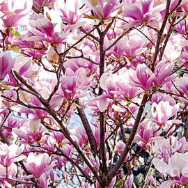 Elena Elisseeva - Blooming magnolia