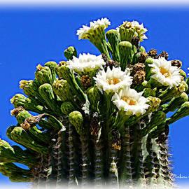 Barbara Zahno - Blooming Saguaro