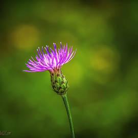 LeeAnn McLaneGoetz McLaneGoetzStudioLLCcom - Blooming Thistle