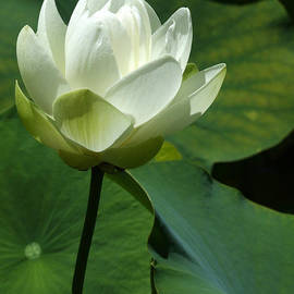 Sabrina L Ryan - Blooming White Lotus