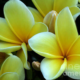 Sabrina L Ryan - Blooming Yellow Plumeria