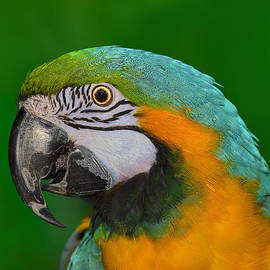 Tony Beck - Blue and Gold Macaw