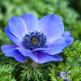Jenny Rainbow - Blue Anemone. Flowers of Holland