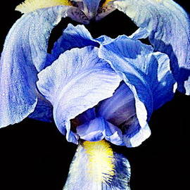 Danielle  Parent - Blue Bearded rhizomatous irises 2