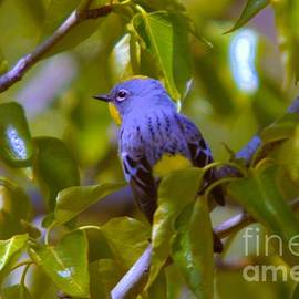 Jeff Swan - Blue Bird With A Yellow Throat