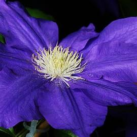 Bruce Bley - Blue Clematis