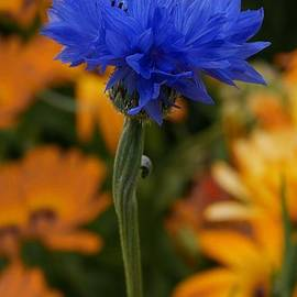 Mickeys Art - Blue Cornflower