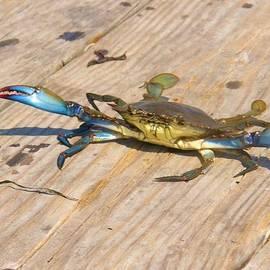 Sven Migot - Blue Crab on Dock Assateague Island MD