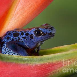 Linda D Lester - Blue Dart Frog