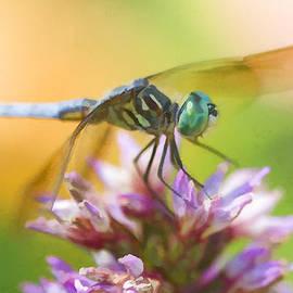 Kathy Clark - Blue Dasher Dragonfly Digital Watercolor