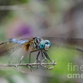 Donna Brown - Blue Dasher Dragonfly