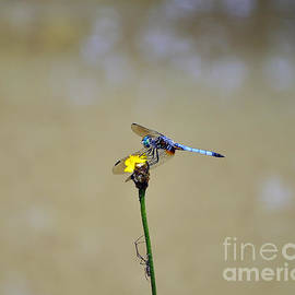 Al Powell Photography USA - Blue Dasher Male