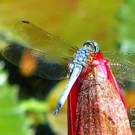 Anita Lewis - Blue Dragonfly Macro