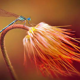 Jaroslaw Blaminsky - Blue dragonfly on a dry flower