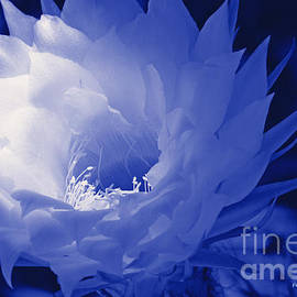 ILONA ANITA TIGGES - GOETZE  ART and Photography  - Blue Echinopsis Hybrids