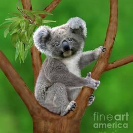 Glenn Holbrook - Blue-Eyed Baby Koala