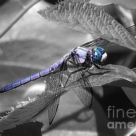 Sharon Woerner - Blue Eyed Dragonfly
