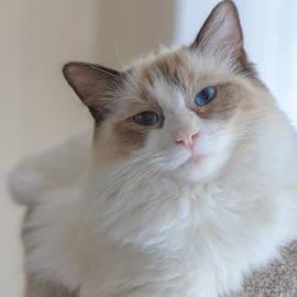 Peta Thames - Blue-Eyed Ragdoll Kitten