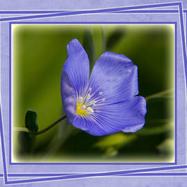 Patti Deters - Blue Flax Close-up with Frame