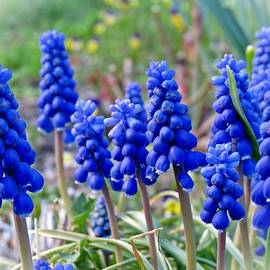 MTBobbins Photography - Blue Grape Hyacinths