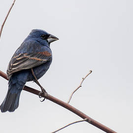 Byron Snider - Blue Grosbeak