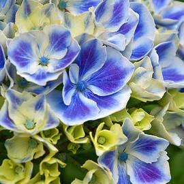 Valerie Garner - Blue Harlequin Hydrandea Flower