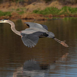 Ruth Jolly - Blue Heron above the lake