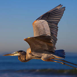 David Millenheft - Blue Heron