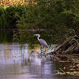 Leif Sohlman - Blue heron